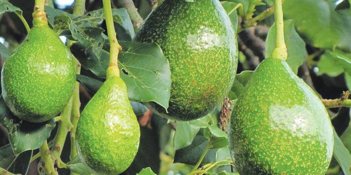 Dietmed - ABACATEIRO